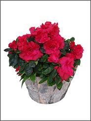 blumenbouquets - Blumen Im Topf Pflanzen